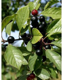 Crusin sau verigariu 'Aspleniifolia' 60-80 cm