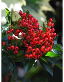 Pyracantha 'Ces'