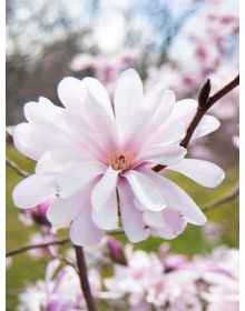 Magnolia instelatDr Massey'