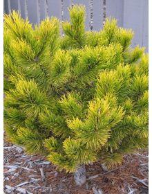 Pinus mugo 'Orange Sun'