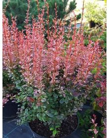 Tunberg Barberry Rosy Rocket