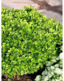 Berberis thunbergii 'Kobold'