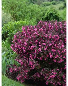 Weigela florida MINOR BLACK 'Verweig 3' PBR