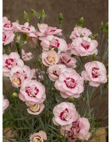 Dianthus plumarius Angel of Virtue
