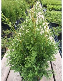 Thuja occidentalis*** 'King of Brabant