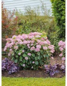 Hydrangea arborescens PINK Annabelle''Spirit''