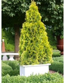 Thuja occidentalis GOLDEN SMARAGD 'Janed Gold' PBR 60-80cm
