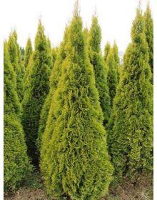 Thuja occidentalis GOLDEN SMARAGD 'Janed Gold' PBR 60-80cm
