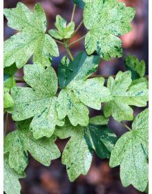 Artar de camp Pulverulentum