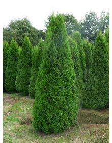 Thuja occidentalis 'Smaragd'- 160-180cm