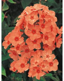 Phlox paniculata 'Orange Perfection'