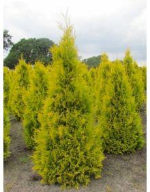 Thuja occidentalis 'Golden Brabant'  50-60cm