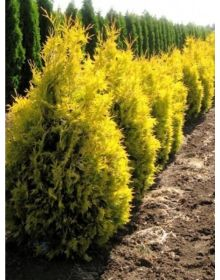 Thuja occidentalis 'Golden Brabant'  50-60cm