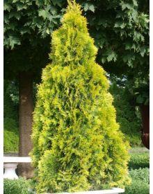Thuja occidentalis 'Golden Brabant'