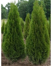 Thuja occidentalis 'Smaragd'  200-225cm