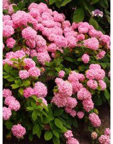 Hydrangea macrophylla rosa