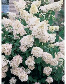 "Hydrangea paniculata  ""Grandiflora"""
