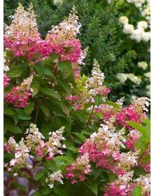 """Hydrangea paniculata  """"Pink Lady"""""""