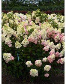 ".Hydrangea paniculata  ""Rastede"""