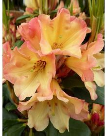 Rhododendron Nanacy Evans