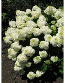 Hydrangea paniculata DIAMANTINO REN 101