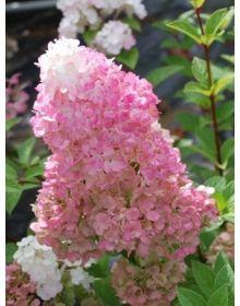 Hydrangea paniculata 'Sundae Fraise Rensun'