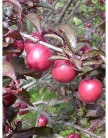Prunus cerasifera 'Hessei'