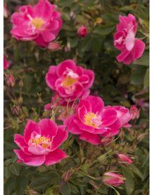 Rosa ''William Baffin'