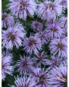 Monarda 'Elsie's Lavender'