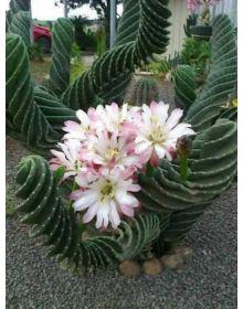 CEREUS FORBESII SPIRALIS - succulent