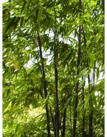 bambusa phylostachys nigra