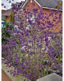 Calicarpa Profusion