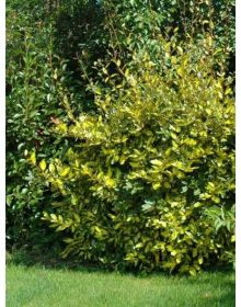 elaeagnus Lime Light