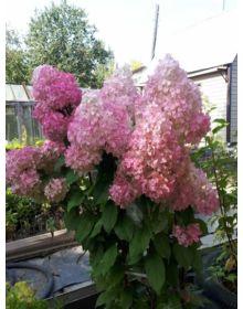 hydrangea paniculata Vanila Fraise CLT3