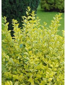 Ligustrum ovalifolium Aureum