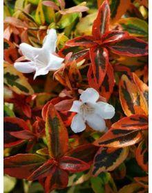 Abelia grandiflora 'Kaleidoscope'-