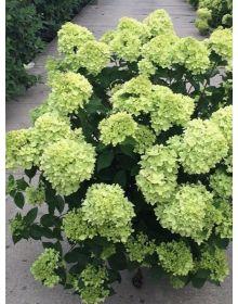 Hydrangea paniculata Little lime'