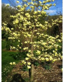 Magnolia 'Yellow River'