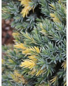 Juniperus squamata 'Floreant''
