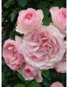 Rosa Eden Rose
