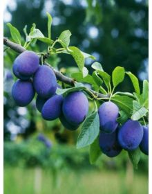 Prunus- prun