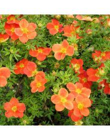 Cinquefoil arbust Marion Red Robin