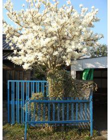 Magnolia gol