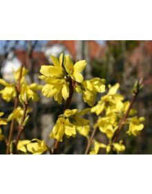 Forsythia BOUCLE D'OR 'Courtacour'