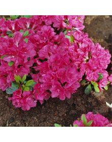 Rhododendron (AJ) 'Canzonetta'