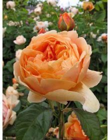 Trandafir CAROLYN KNIGHT