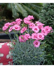 Dianthus plumarius 'Angel of Hope'