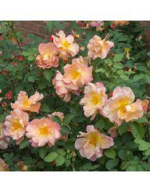 trandafir Fighting Temeraire