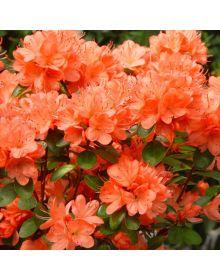 Rhododendron (AJ) 'Geisha Orange'
