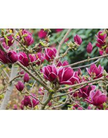 Magnolia 'Genie'PBR